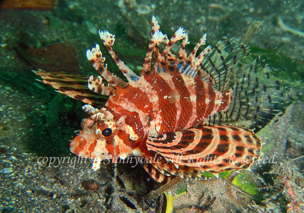 シマヒメヤマノカミ 学名:Dendrochirus brachypterus