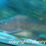 シノノメサカタザメ 学名:Rhina ancylostoma