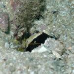 シロオビハゼ 学名:Cryptocentrus albidorsus