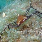 ソバガラガニ 学名:Trigonoplax unguiformis