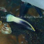 ソメワケベラ 学名:Labroides bicolor