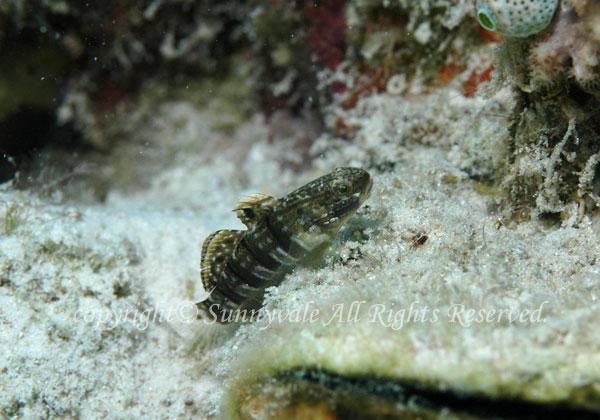 スフィンクスサラサハゼ 学名:Amblygobius sphynx