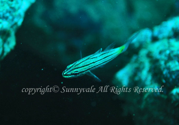 スダレヤライイシモチ 学名:Cheilodipterus intermedius