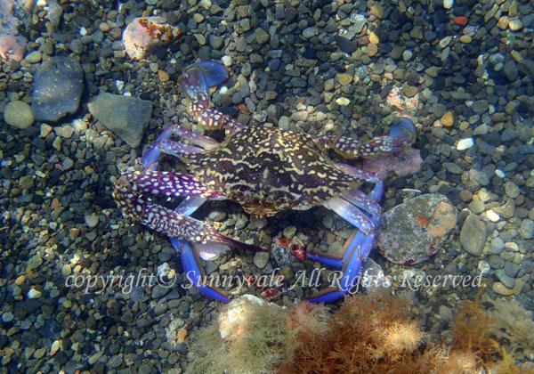 タイワンガザミ 学名:Portunus pelagicus