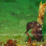 タカクラタツ 学名:Hippocampus trimaculatus