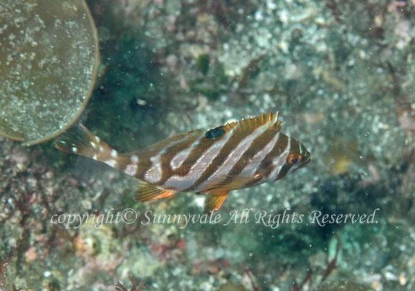 タカノハダイ 幼魚 学名:Goniistius zonatus