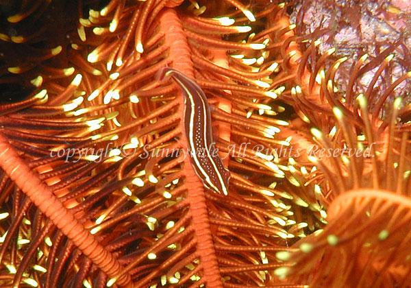 タスジウミシダウバウオ 学名:Discotrema lineatum