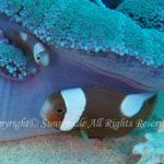 トウアカクマノミ 幼魚 学名:Amphiprion polymnus