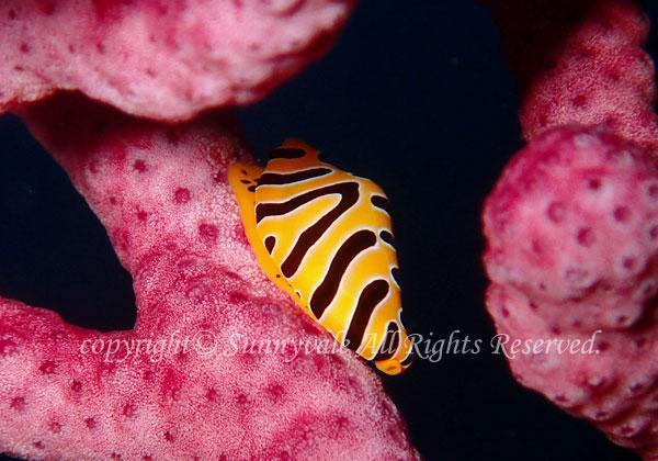 トラフケボリ 学名:Primovula tigris