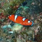 ツユベラ幼魚 学名:Coris gaimard