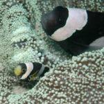 ホワイトチップドアネモネフィッシュ 学名:Amphiprion sp
