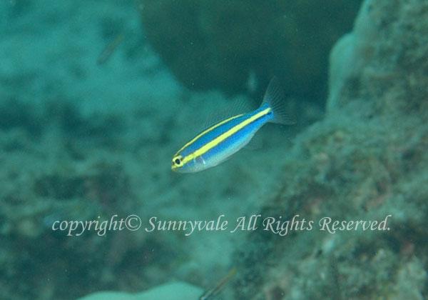 ヤクシマキツネウオ 学名:Pentapodus aureofasciatus