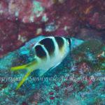 ヨコシマクロダイ 幼魚 学名:Monotaxis grandoculis