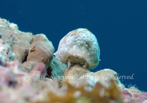 オガサワラカムリ (ユキンコボウシガニシ) 学名:Dromidiopsis lethrinusae