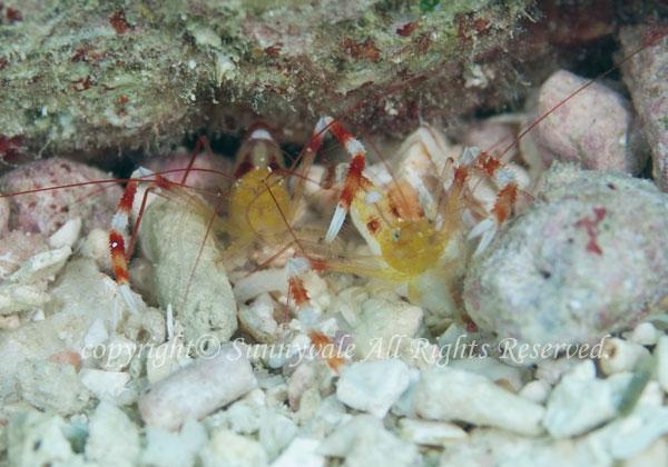 ザンジバルボクサーシュリンプ 学名:Stenopus zanzibaricus