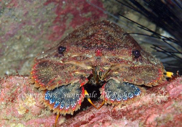 ゾウリエビ 学名:Parribacus japonicus