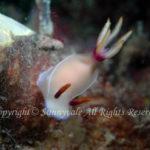 ゾウゲイロウミウシ 学名:Hypselodoris bullocki