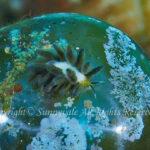 エルコラニア・エンドフィトファガ 学名:Ercolania endophytophaga