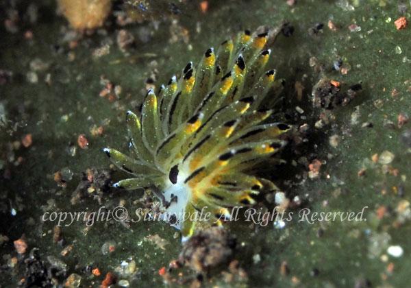 オオアオモウミウシの一種 学名:Costasiella-sp