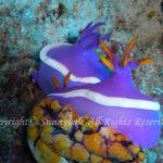 カグヤヒメウミウシ 学名:Hypselodoris variobranchia