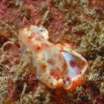 ミカドウミウシ 学名:Hexabranchus sanguineus