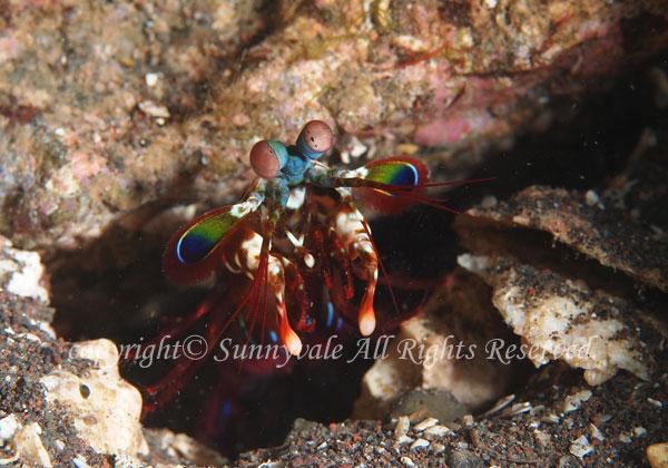 モンハナシャコ 学名:Odontodactylus scyllarus
