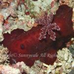 スオウウミウシ 学名:Platydoris sanguinea