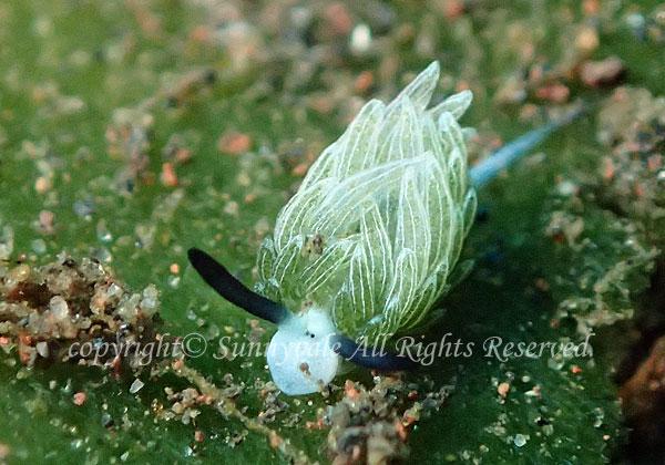 ウサギモウミウシ 学名:Costasiella usagi