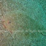タマガンゾウビラメ 学名: Pseudorhombus pentophthalmus